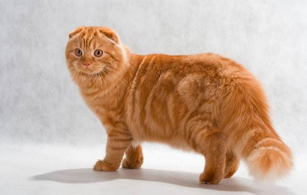 Скоттиш-фолд-кошка-Описание-особенности-виды-характер-уход-и-цена-породы-скоттиш-фолд-8