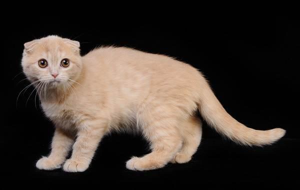 Скоттиш-фолд-кошка-Описание-особенности-виды-характер-уход-и-цена-породы-скоттиш-фолд-9