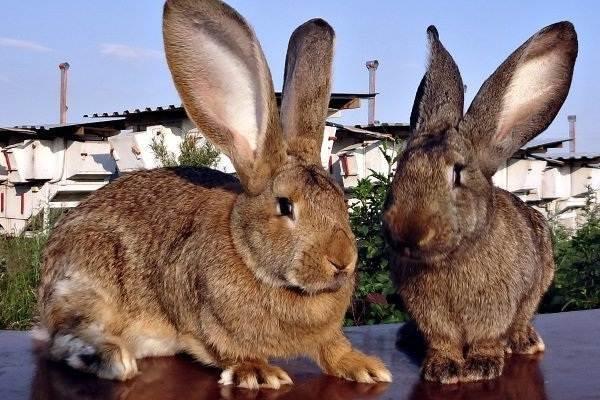 Кролик-породы-фландр-Описание-особенности-уход-и-содержание-1