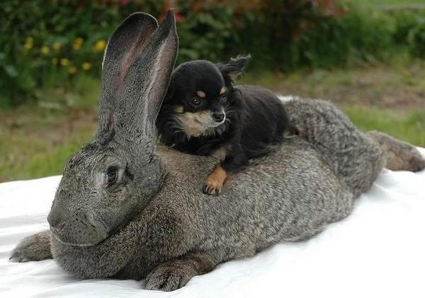 Кролик-породы-фландр-Описание-особенности-уход-и-содержание-5