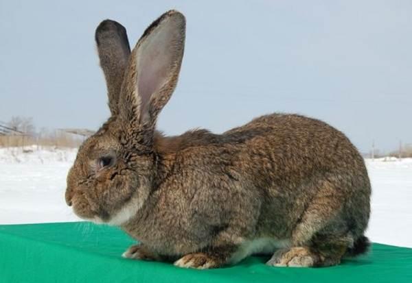 Кролик-породы-фландр-Описание-особенности-уход-и-содержание-6