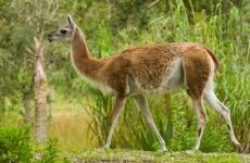 Гуанако животное. Описание, особенности, виды, образ жизни и среда обитания