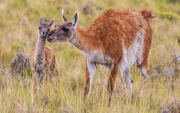 Гуанако-животное-Описание-особенности-виды-образ-жизни-и-среда-обитания-11