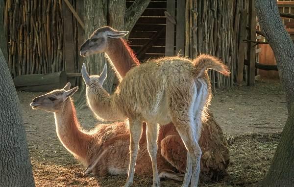 Гуанако-животное-Описание-особенности-виды-образ-жизни-и-среда-обитания-4