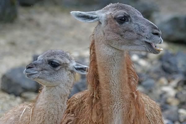 Гуанако-животное-Описание-особенности-виды-образ-жизни-и-среда-обитания-5