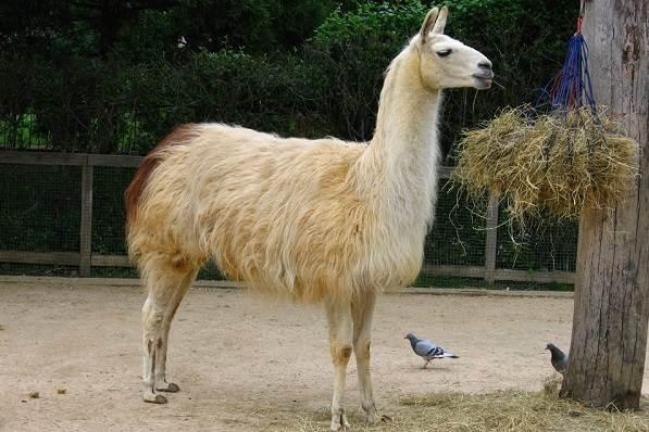 Гуанако-животное-Описание-особенности-виды-образ-жизни-и-среда-обитания-8