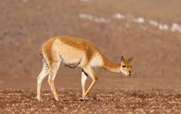 Гуанако-животное-Описание-особенности-виды-образ-жизни-и-среда-обитания-9