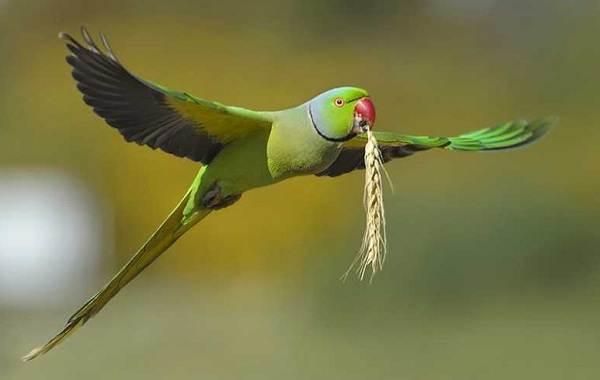 Ожереловый-попугай-Описание-особенности-виды-уход-и-содержание-птицы-1