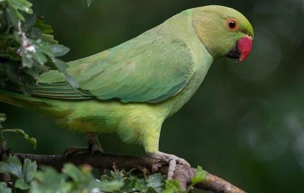Ожереловый-попугай-Описание-особенности-виды-уход-и-содержание-птицы-2