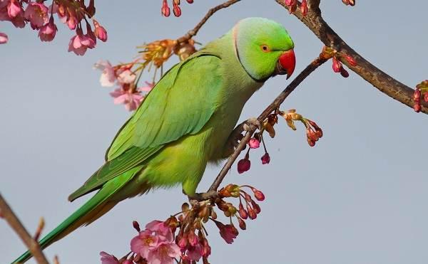 Ожереловый-попугай-Описание-особенности-виды-уход-и-содержание-птицы-3