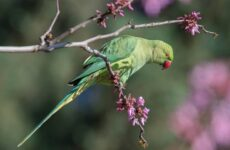 Ожереловый попугай. Описание, особенности, виды, уход и содержание птицы