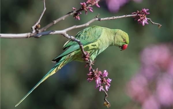 Ожереловый-попугай-Описание-особенности-виды-уход-и-содержание-птицы-4