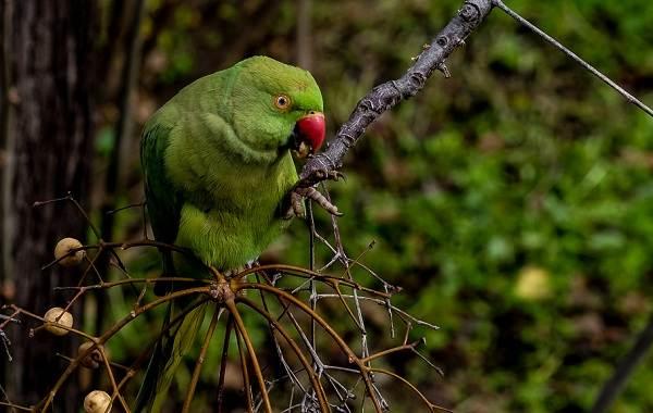 Ожереловый-попугай-Описание-особенности-виды-уход-и-содержание-птицы-5