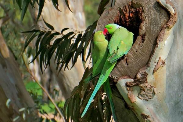 Ожереловый-попугай-Описание-особенности-виды-уход-и-содержание-птицы-6