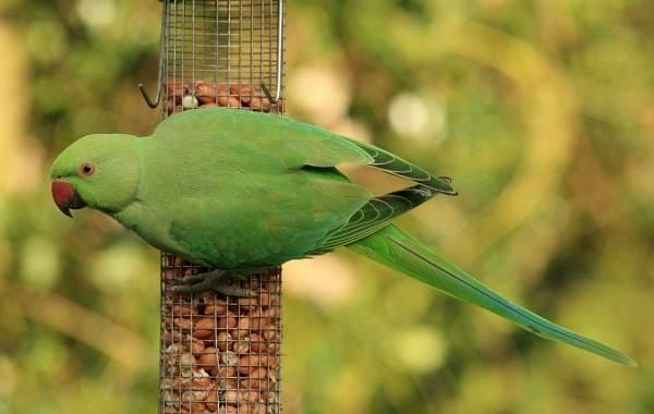 Ожереловый-попугай-Описание-особенности-виды-уход-и-содержание-птицы-7