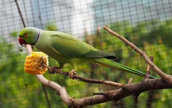 Ожереловый-попугай-Описание-особенности-виды-уход-и-содержание-птицы-8