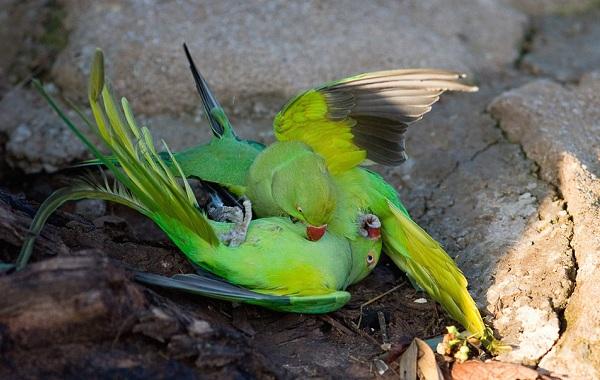 Ожереловый-попугай-Описание-особенности-виды-уход-и-содержание-птицы-9
