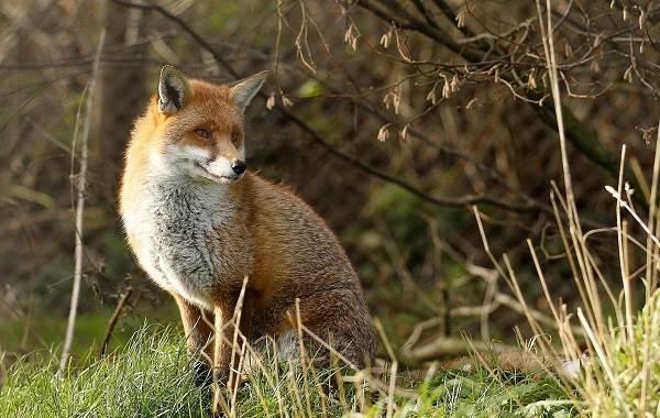 Виды-лис-Описание-названия-особенности-фото-и-среда-обитания-лисиц-1