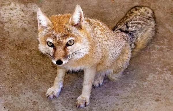 Виды-лис-Описание-названия-особенности-фото-и-среда-обитания-лисиц-10