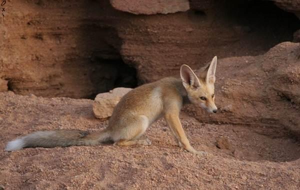 Виды-лис-Описание-названия-особенности-фото-и-среда-обитания-лисиц-11