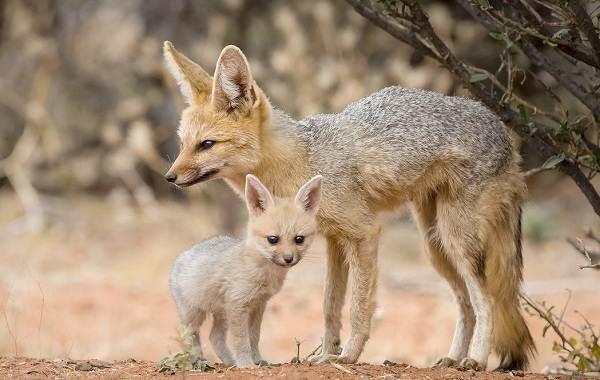 Виды-лис-Описание-названия-особенности-фото-и-среда-обитания-лисиц-13