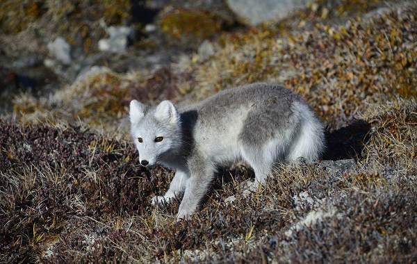 Виды-лис-Описание-названия-особенности-фото-и-среда-обитания-лисиц-14
