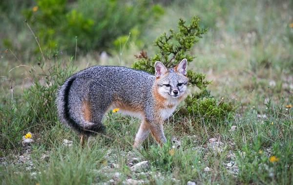 Виды-лис-Описание-названия-особенности-фото-и-среда-обитания-лисиц-16