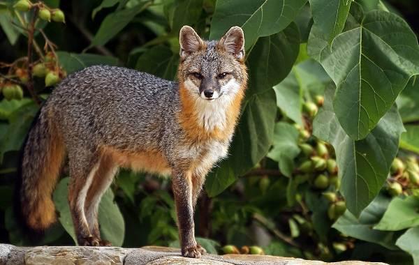 Виды-лис-Описание-названия-особенности-фото-и-среда-обитания-лисиц-17