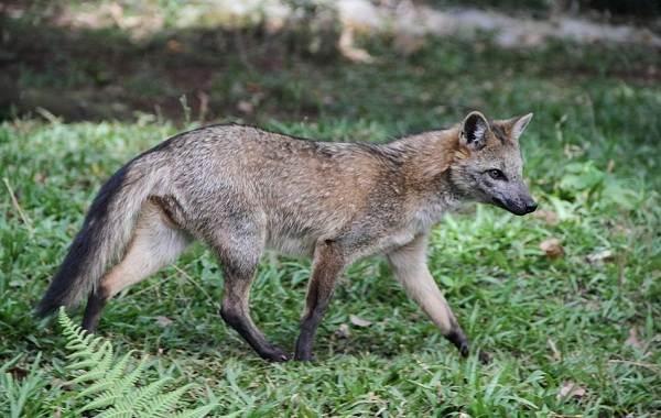 Виды-лис-Описание-названия-особенности-фото-и-среда-обитания-лисиц-19