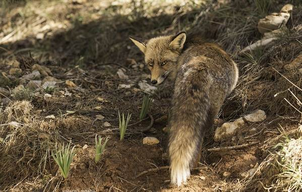 Виды-лис-Описание-названия-особенности-фото-и-среда-обитания-лисиц-20
