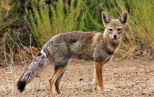 Виды-лис-Описание-названия-особенности-фото-и-среда-обитания-лисиц-21