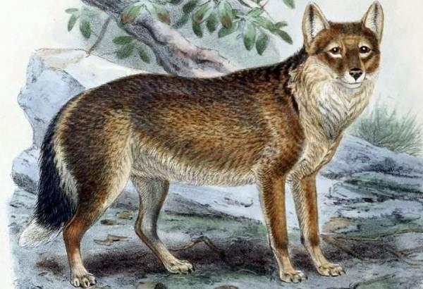 Виды-лис-Описание-названия-особенности-фото-и-среда-обитания-лисиц-22