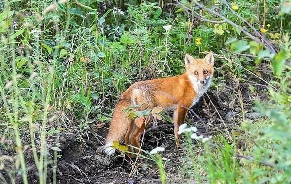 Виды-лис-Описание-названия-особенности-фото-и-среда-обитания-лисиц-23