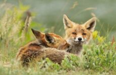 Виды лис. Описание, названия, особенности, фото и среда обитания лисиц