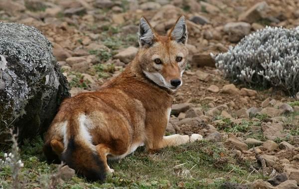 Виды-лис-Описание-названия-особенности-фото-и-среда-обитания-лисиц-24