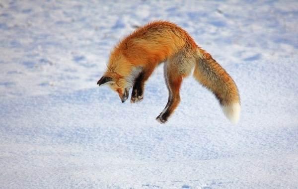 Виды-лис-Описание-названия-особенности-фото-и-среда-обитания-лисиц-3