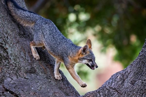 Виды-лис-Описание-названия-особенности-фото-и-среда-обитания-лисиц-30