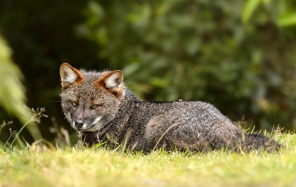 Виды-лис-Описание-названия-особенности-фото-и-среда-обитания-лисиц-31