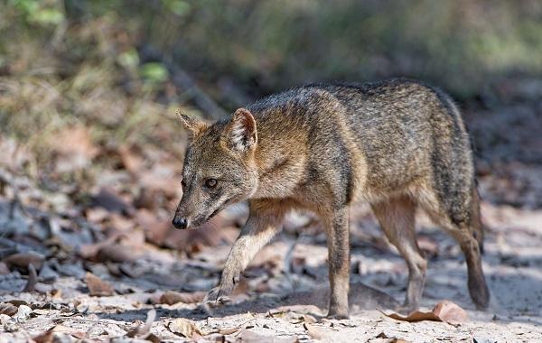 Виды-лис-Описание-названия-особенности-фото-и-среда-обитания-лисиц-33