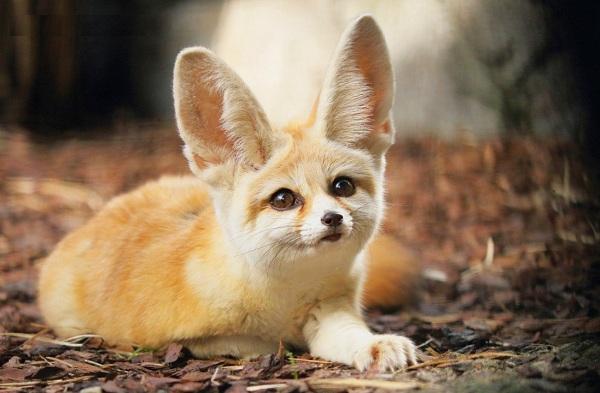 Виды-лис-Описание-названия-особенности-фото-и-среда-обитания-лисиц-34