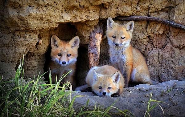 Виды-лис-Описание-названия-особенности-фото-и-среда-обитания-лисиц-4