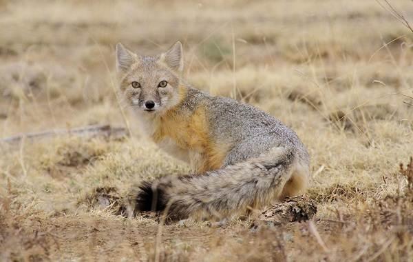 Виды-лис-Описание-названия-особенности-фото-и-среда-обитания-лисиц-5