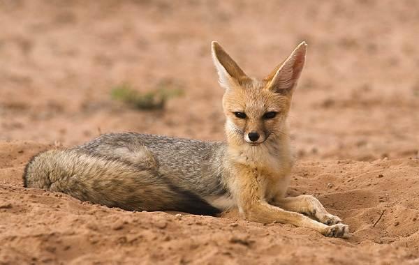 Виды-лис-Описание-названия-особенности-фото-и-среда-обитания-лисиц-6