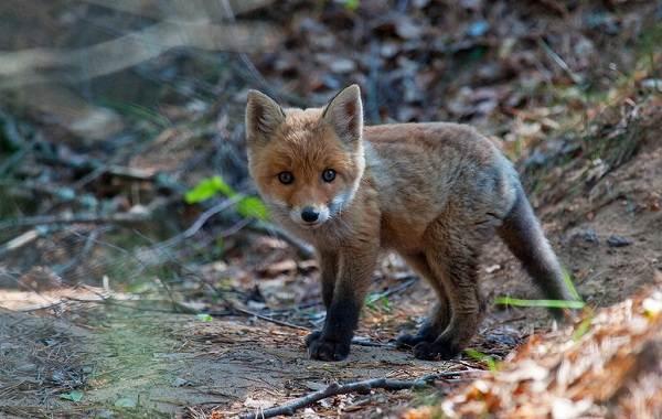 Виды-лис-Описание-названия-особенности-фото-и-среда-обитания-лисиц-7