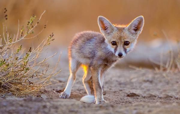 Виды-лис-Описание-названия-особенности-фото-и-среда-обитания-лисиц-8
