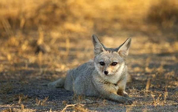Виды-лис-Описание-названия-особенности-фото-и-среда-обитания-лисиц-9