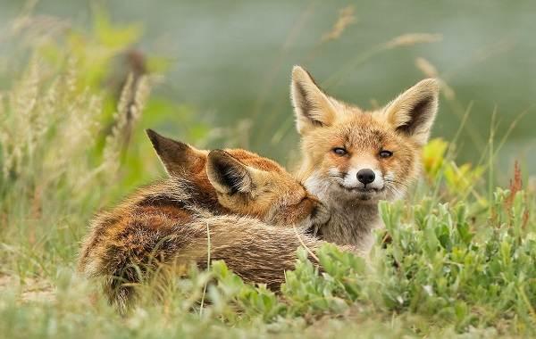 Виды-лис-Описание-названия-особенности-фото-и-среда-обитания-лисиц