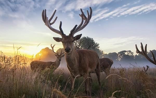 Виды-оленей-Описание-особенности-фото-и-названия-видов-оленей-1