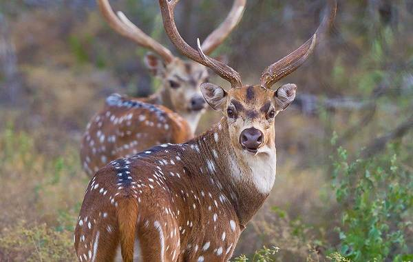 Виды-оленей-Описание-особенности-фото-и-названия-видов-оленей-11