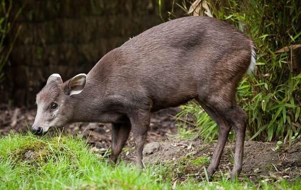 Виды-оленей-Описание-особенности-фото-и-названия-видов-оленей-14